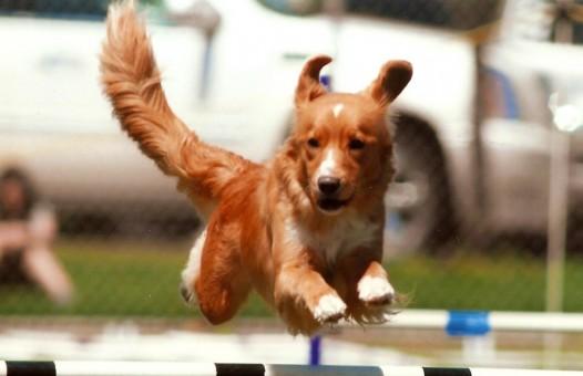 toller agility jump