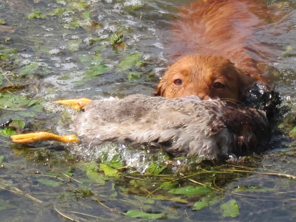toller retrieve duck water
