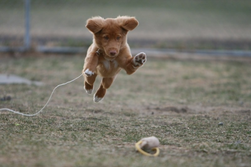 toller puppy jump cute