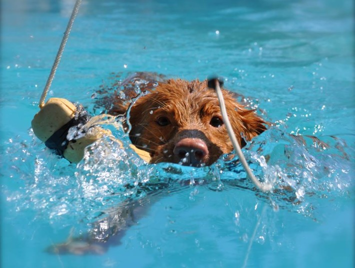 toller dock diving close up face and bumper