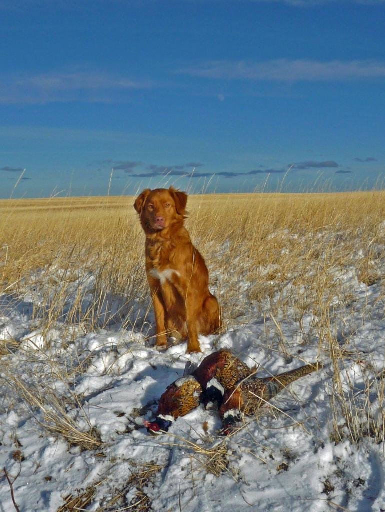 toller hunting pheasants