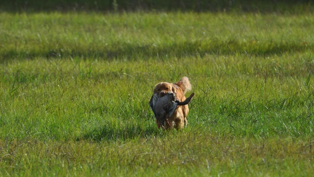 toller run field duck retrieve