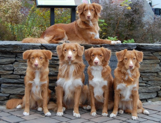 tollers family toller