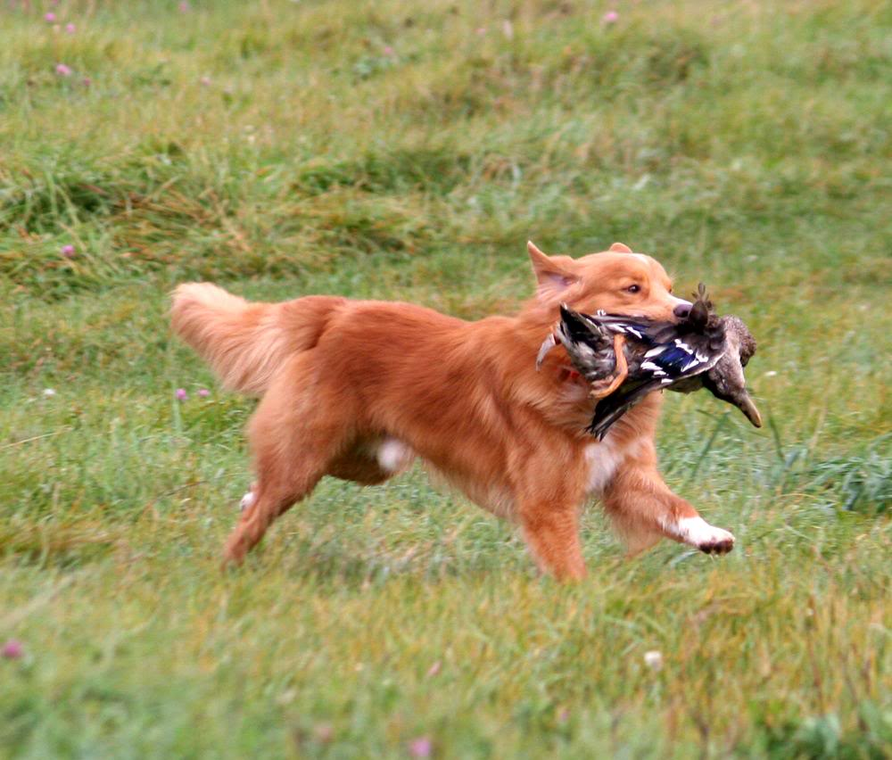 toller running field duck retrieving