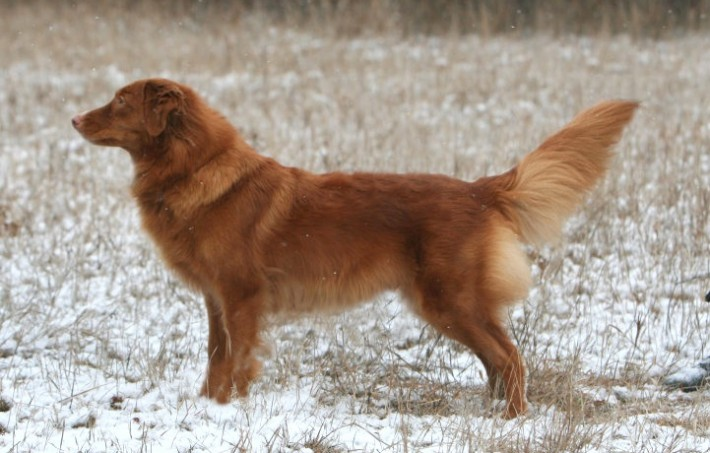 nova scotia duck tolling retriever toller male profile snow