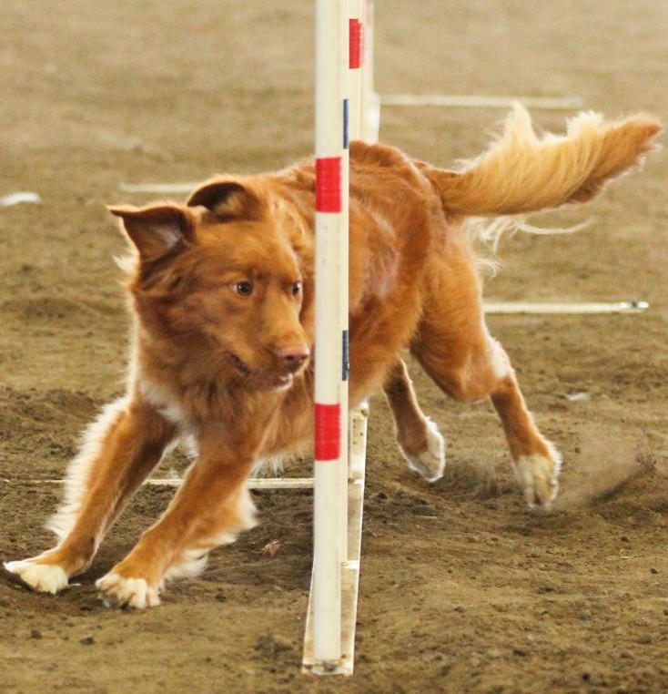 toller weave poles agility