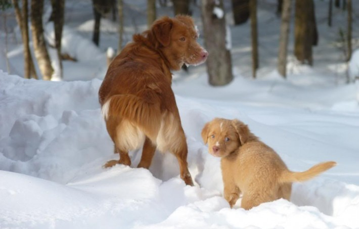 nova scotia duck tolling retriever toller mother puppy snow