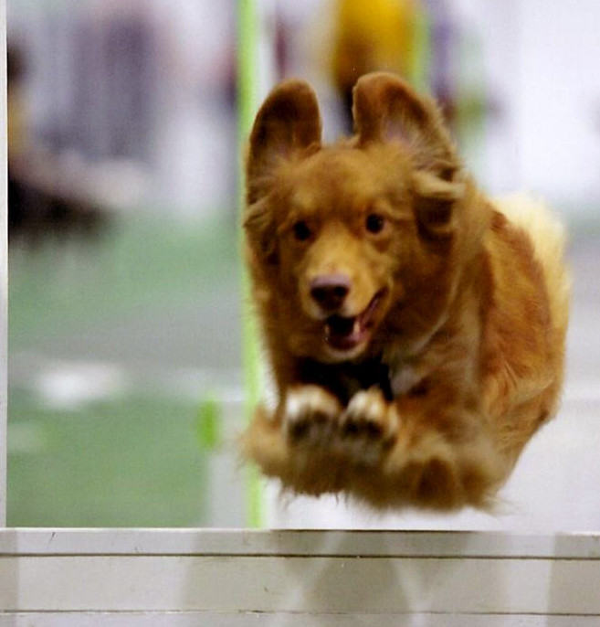 toller flyball