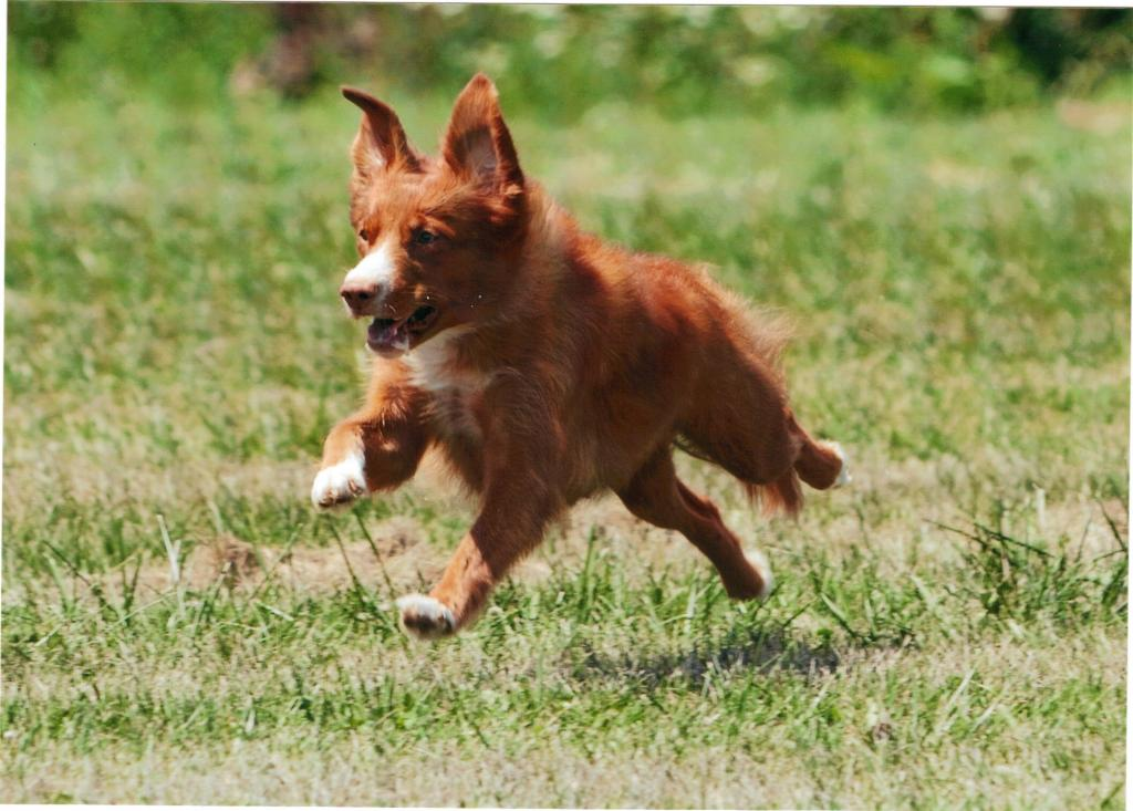toller lure coursing cat trial