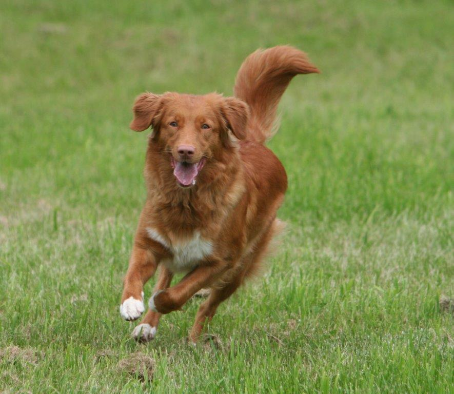 nova scotia duck tolling retriever toller temperament happy running
