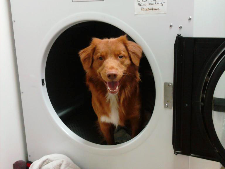 toller playing in dryer