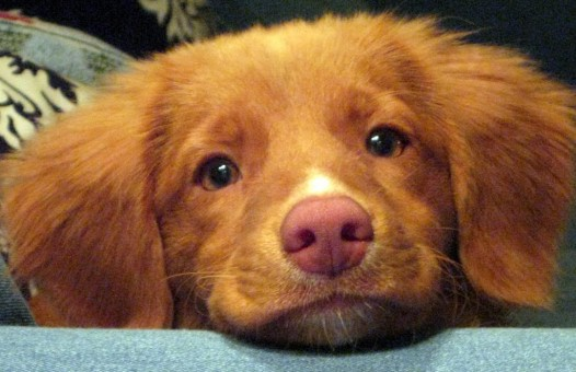 toller puppy cute