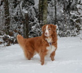 toller female snow