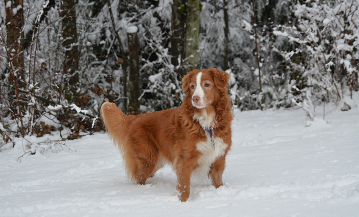toller female snow