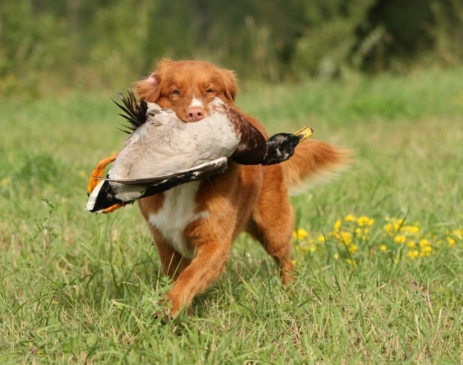 toller duck retrieve