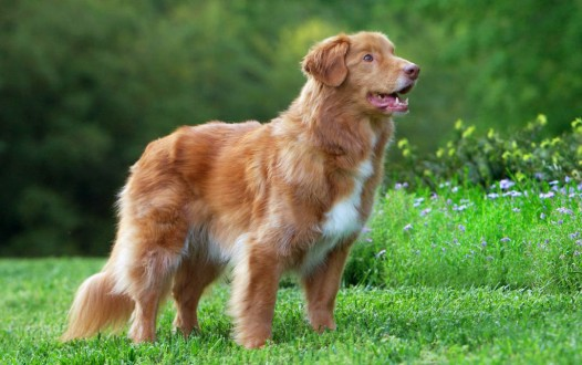 toller stand gun dog red