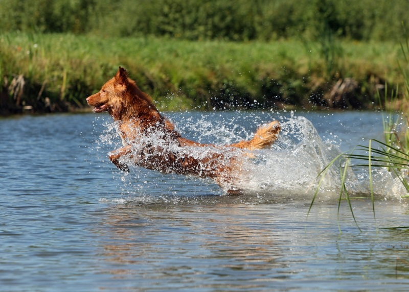 toller water jump dive retrieve