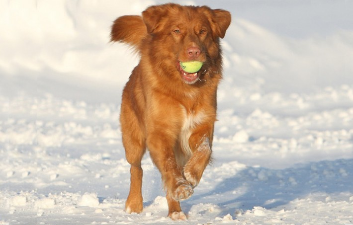 toller ball snow