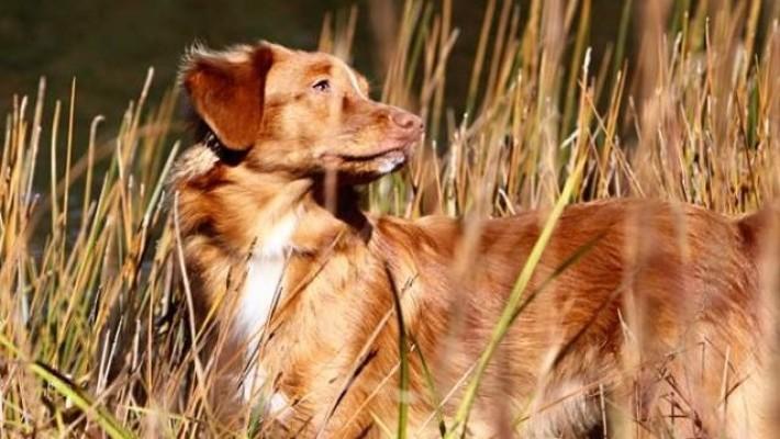 female toller in marshlands