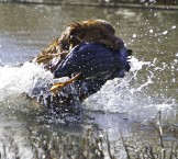 Toller retrieving duck with enthusiasm water splash