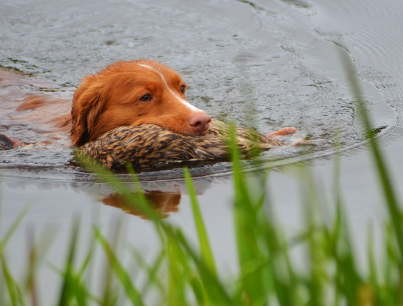 toller retrieve swim water