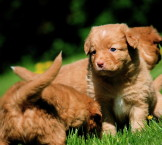 toller puppies playing in grass