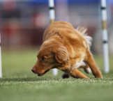 toller agility weave poles close up