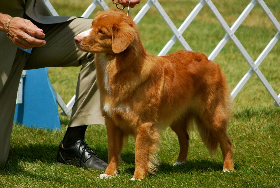 toller color genetics