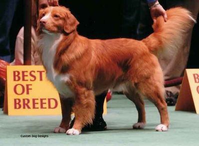 male toller conformation