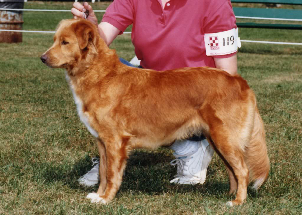 toller female conformation veteran